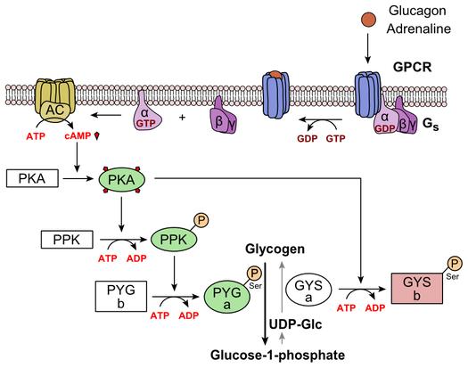 肝細胞におけるグルカゴンの作用