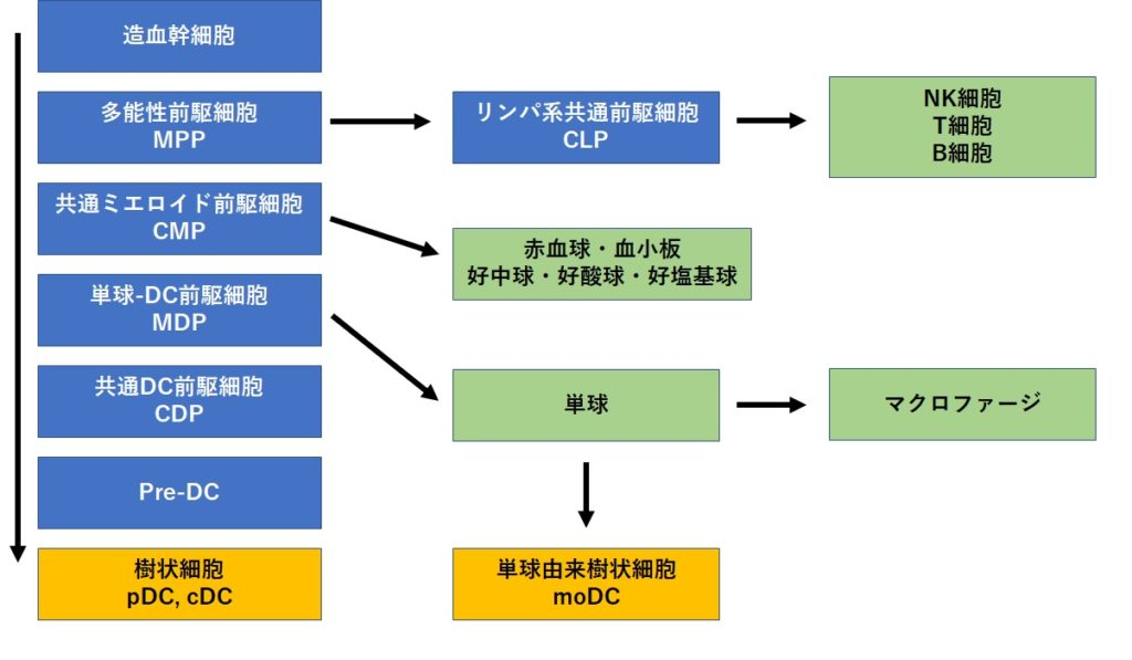 樹状細胞の分化経路